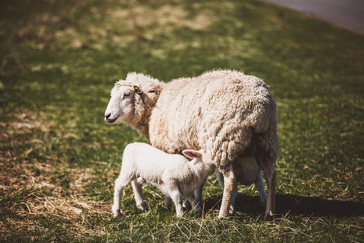 List Ellenbogen Schafe Lamm