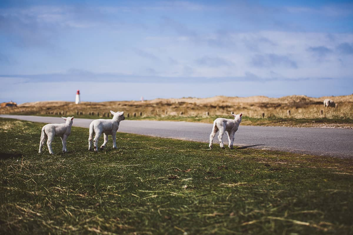 Schafe Lämmer Ellenbogen Sylt