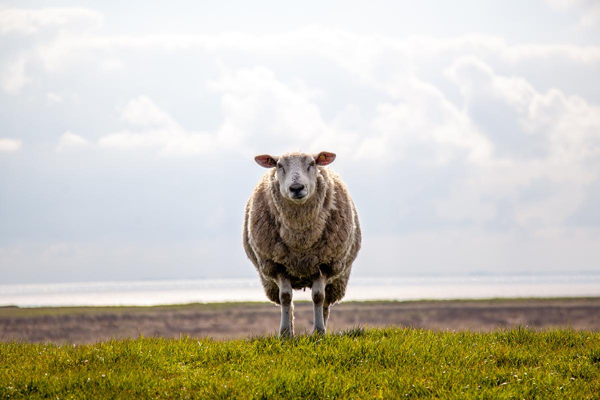 Schaf auf dem Deich in Morsum