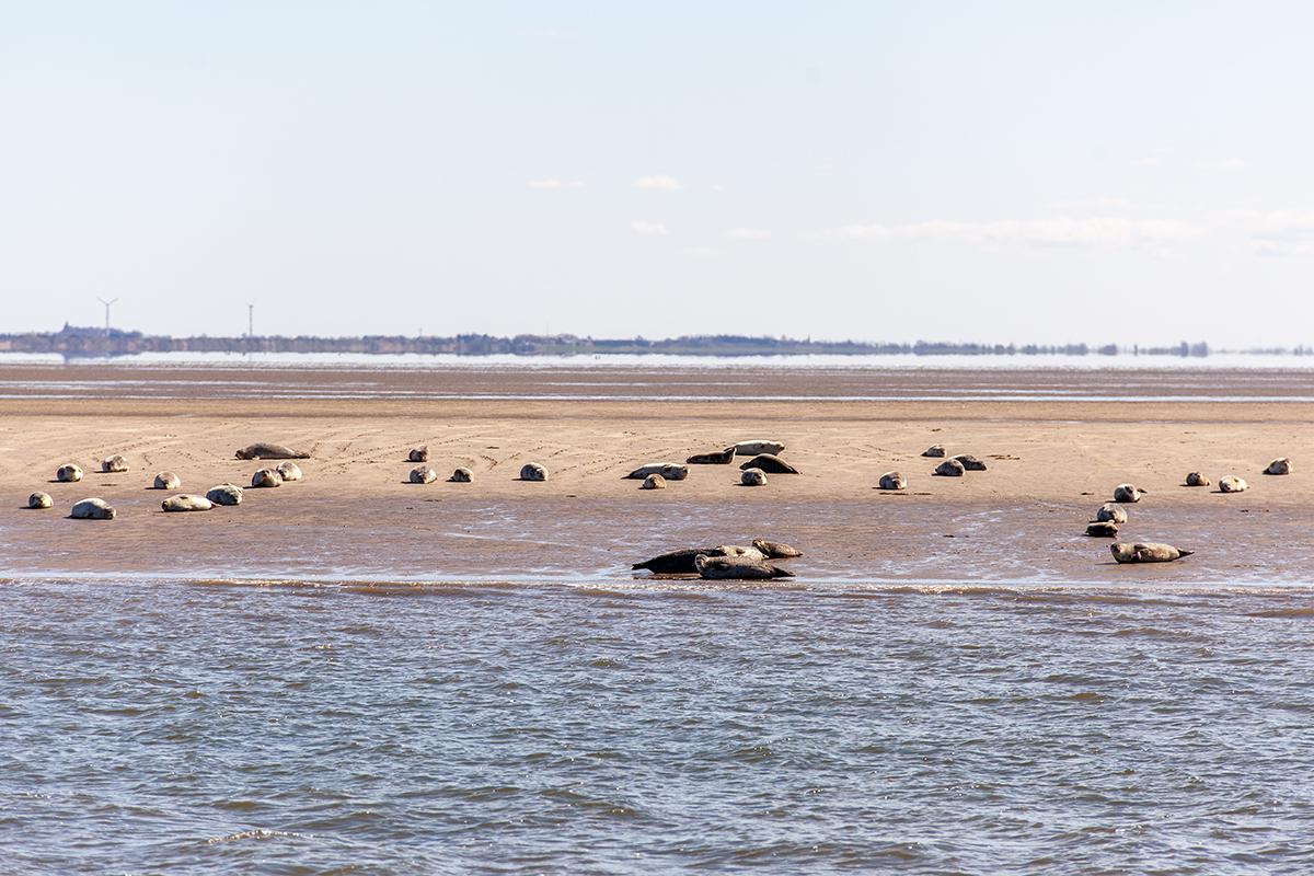 Seehundbänke Nordsee vor Dänemark Sylt