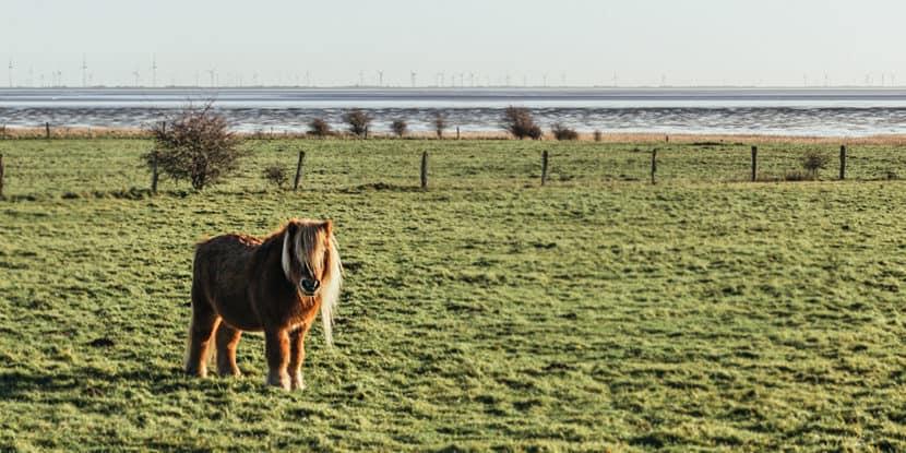 Pony Wiese Morsum