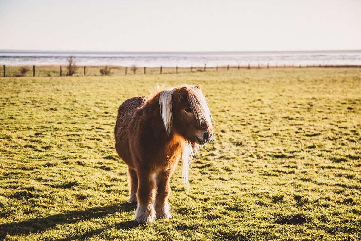 Pony auf einer Wiese in Morsum