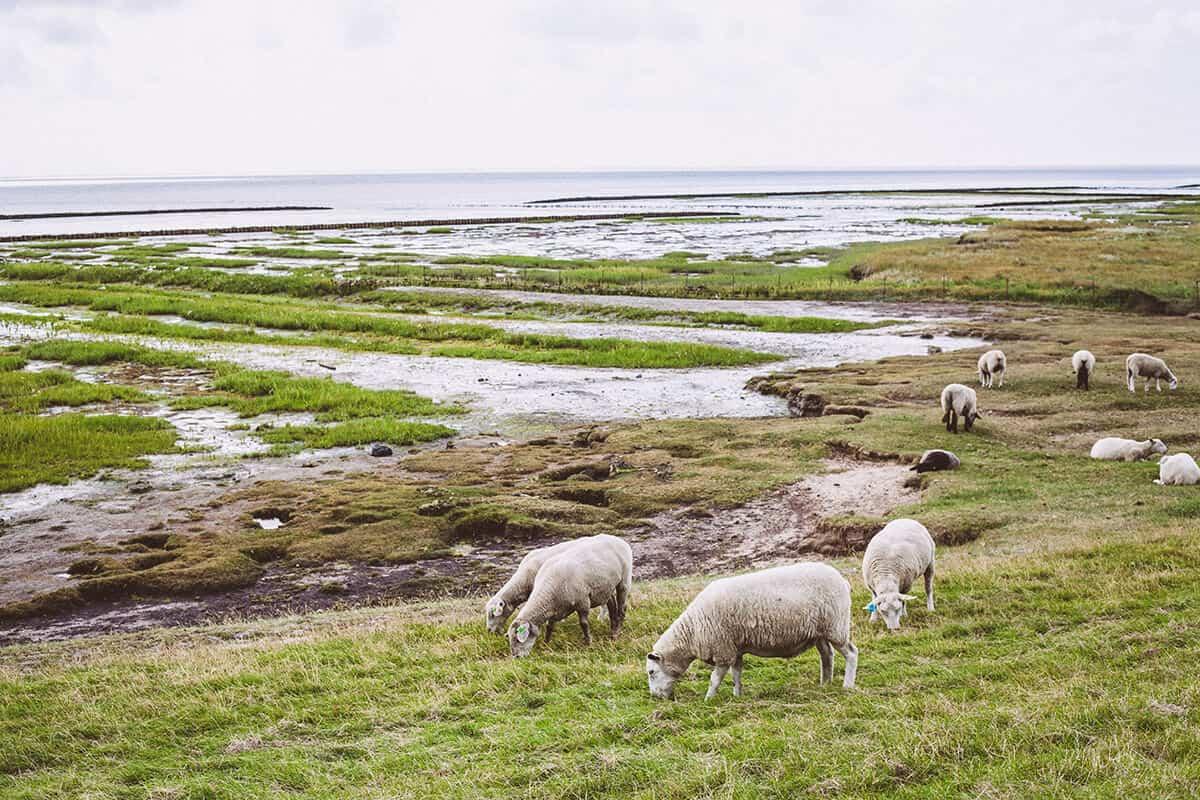 Rantum-Guide mit tollen Tipps: Schafe auf dem Deich