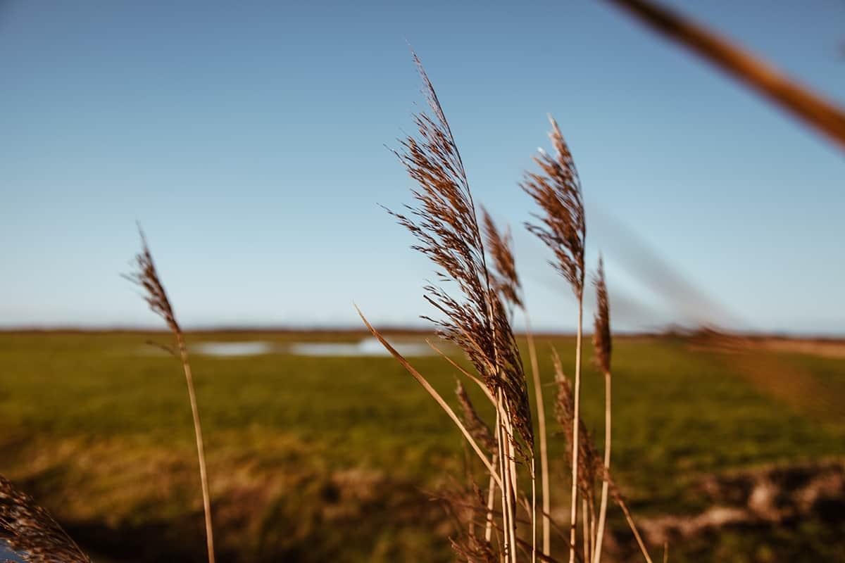 Gräser Keitumer Wiesen
