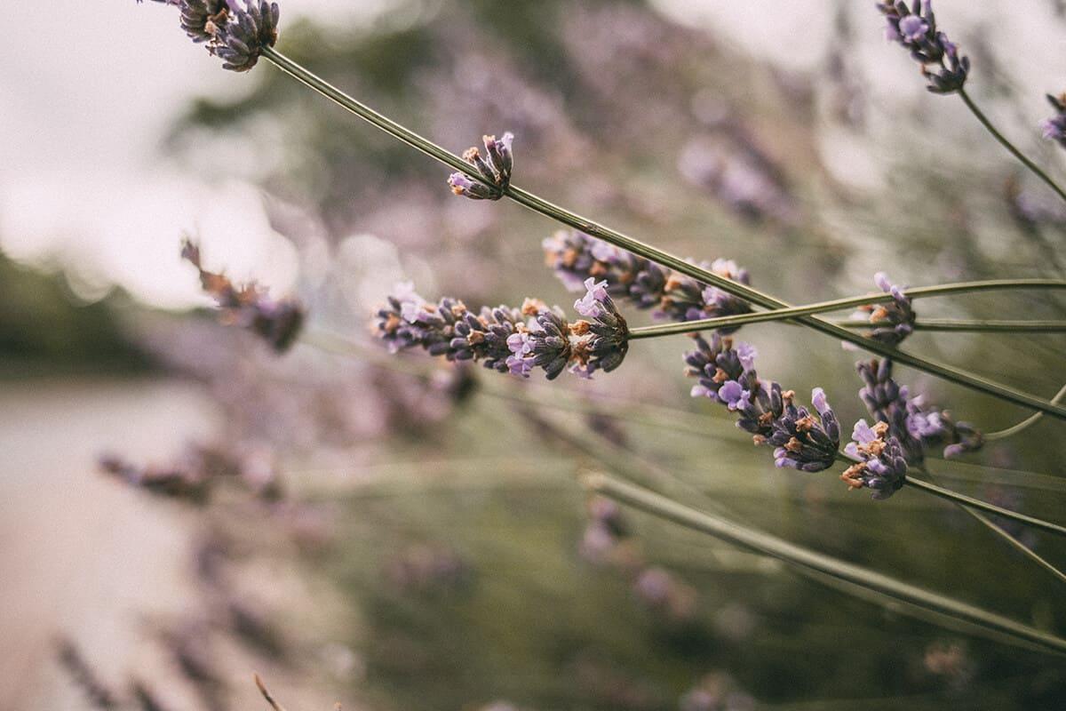 Lavendel Keitum